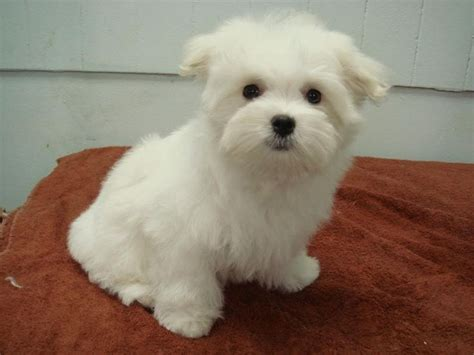 maltese puppy cut 24 best images about haircuts dogs on poodles puppys and yorkie