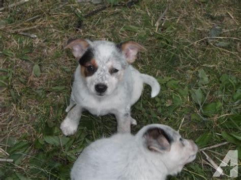 australian shepherd blue heeler mix puppies for sale adorable blue heeler australian shepherd mix puppies for sale in delta ohio