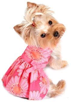why is my yorkie throwing up 1000 images about t beautiful puppies on maltese yorkie and teacup maltese