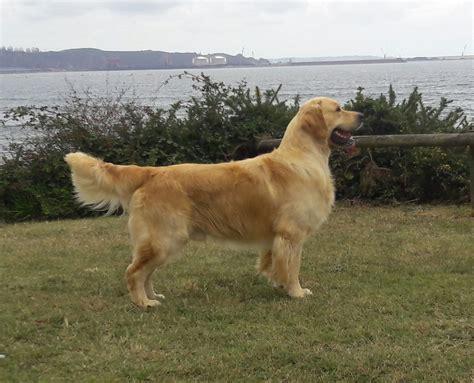 ct golden retriever rescue comprar golden retriever asturias merry photo