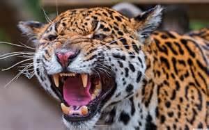 Jaguars Moving To La Hd Angry Tiger Roaring Wallpaper Free 140760