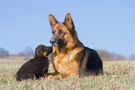 pastore tedesco in appartamento pastore tedesco caratteristiche e prezzo razze cani