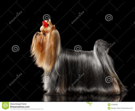 black mirror yorkie yorkshire terrier dog lying on black mirror stock photo