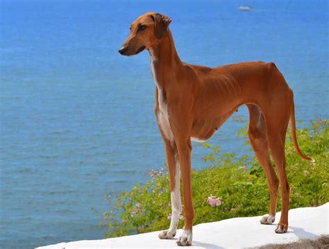 azawakh puppies azawakh breeders puppies and breed information