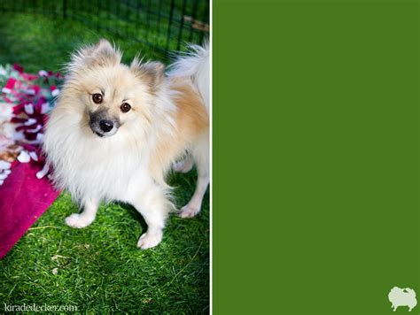 potato chips pomeranian rescue adoptables from potato chips pomeranian rescue dedecker photography