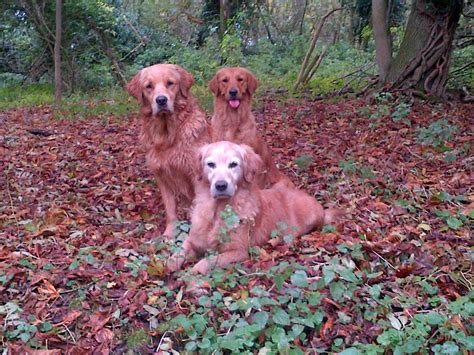 working golden retriever breeders working golden retriever pups spalding lincolnshire