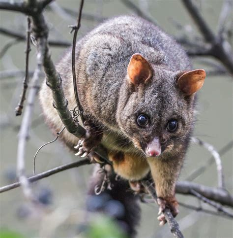 how to get rid of a possum in backyard how to get rid of possums possum removal melbourne
