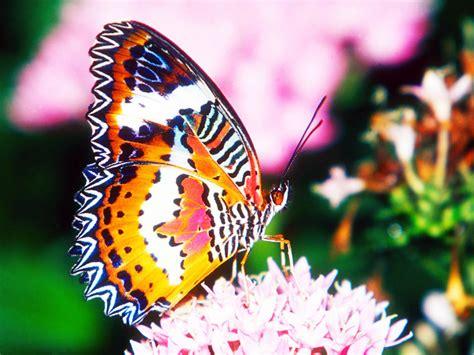 Tikar Lipat Motif Kupu Kupu Besar 10 fakta menarik kupu kupu kitacerdas