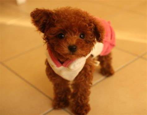 brown puppies 17 best ideas about teacup poodle puppies on micro poodle teacup dogs and
