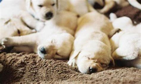 lab puppies for sale in south dakota yellow labs for sale in south dakota myideasbedroom