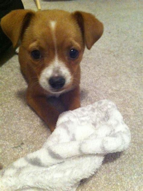 cheagle puppies cheagle puppy cuddly
