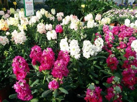 fiori bocche di fiore bocca di piante annuali caratteristica