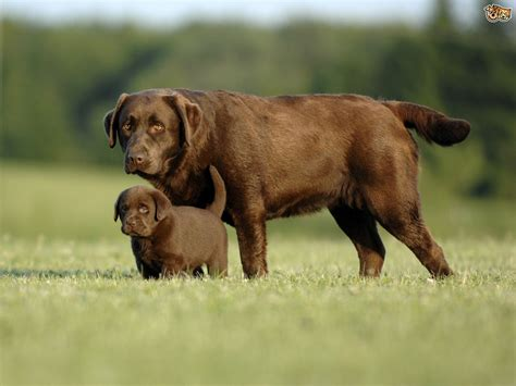 buy labrador puppy labrador retriever breed information buying advice photos and facts pets4homes