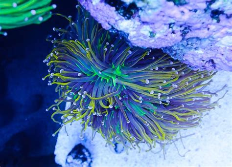 Simbalion Gallery Pastel Nature Tones Sp 12p wwc eye two tone torch coral aquariums