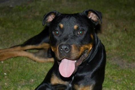 staffordshire bull terrier rottweiler cross barney 10 12 month rottweiler cross staffordshire bull terrier for