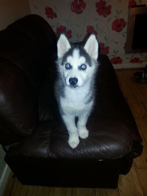 husky puppies for sale in spokane baby huskies with blue