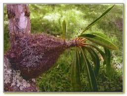 Obat Herbal Herbal Sarang Semut Membantu Mengobati Penyakit Kronis sarang semut hiu terbukti sembuhkan berbagai penyakit kronis ramuan obat tanaman herbal