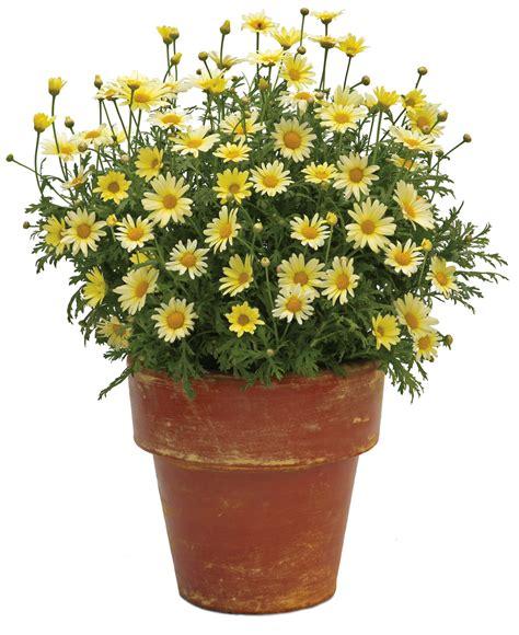 vanilla butterfly marguerite daisy argyranthemum