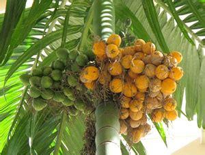 Bibit Kelapa Hibrida Thailand หมาก areca palm areca catechu l