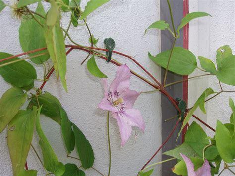 Attache Plante Grimpante attaches pour plantes grimpantes attaches et liens pour