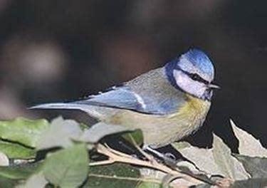 cinciarella gabbia cinciarella uccelli autoctoni
