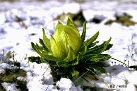Bibit Bunga Teratai Salju teratai salju perawatan kulit ala wanita kerajaan china