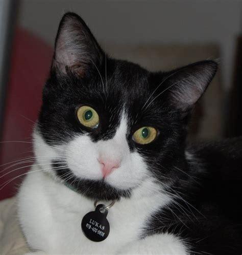 grey tuxedo cat breed