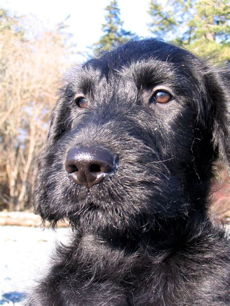 black labradoodle puppy black labradoodle puppy ferrous in the puppy dogs black