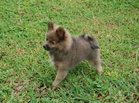 blue and pomeranian pomeranian breed 187 information pictures more
