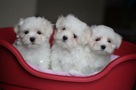 teacup maltese puppy teacup maltese breed information and pictures