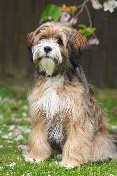 tibetan terrier puppies tibetan terrier animals we