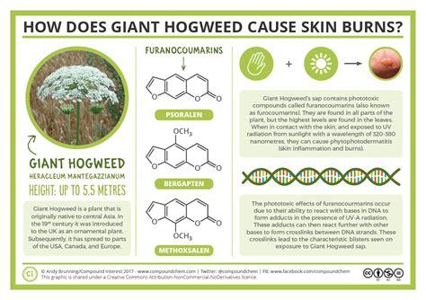 chemistry  giant hogweed     skin