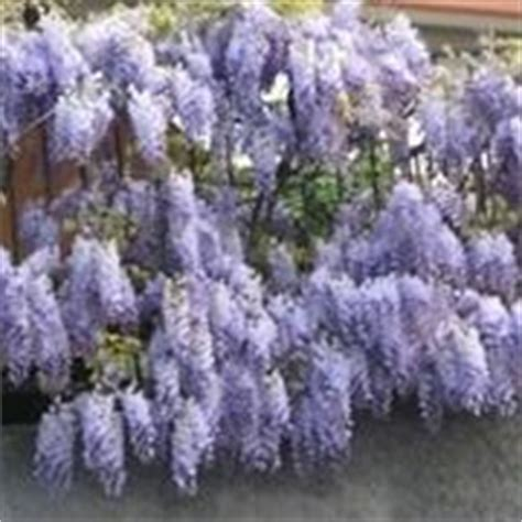 pianta di glicine in vaso glicine in vaso piante da terrazzo glicine in vaso pianta