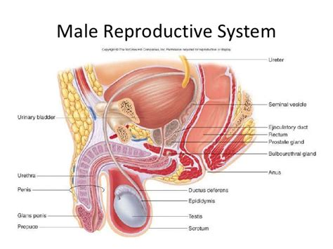 which body section contains the reproductive structures on a beetle pictures pictures of male reproductive system anatomy