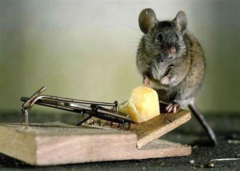 how to get rid of mice in your house how to get rid of mice 7 ways to oust impudent rodents from your territory
