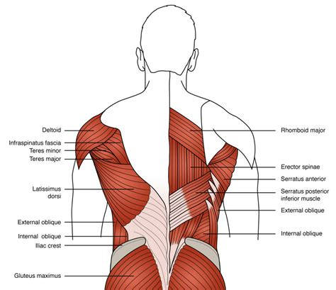 5 ways to work out your back muscles fitness exercises