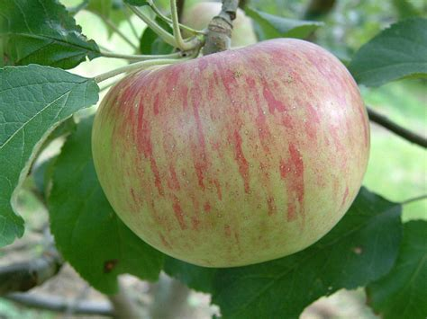 fruit trees for sale wisconsin wolf river apple standard