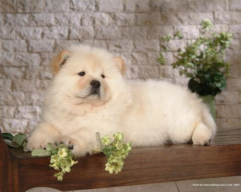 chow puppy chow chow puppy wallpaper puppies wallpaper 13936792 fanpop