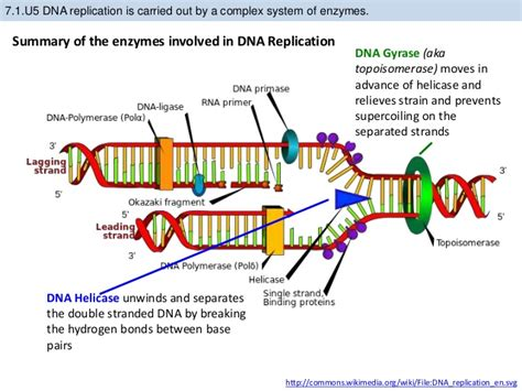 6 proteins involved in dna replication bioknowledgy 7 1 dna structure and replication ahl