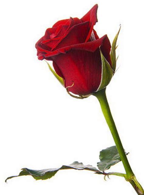 imagenes de flores que brillan untitled imagenes de rosas que se mueven y brillan