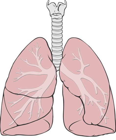 lung diagram file lungs diagram simple svg wikimedia commons