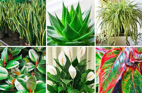 best indoor plants for oxygen these plants are oxygen bombs and they clean the air in