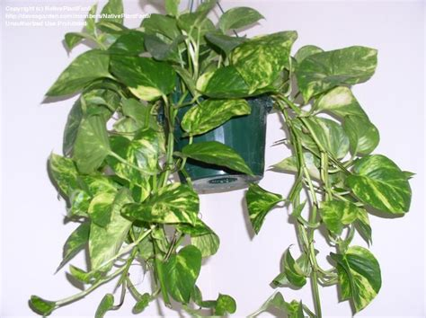 Vine House Plants | dolce vita house plant memories