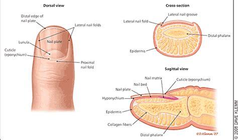 nail bed anatomy acute and chronic paronychia american family physician