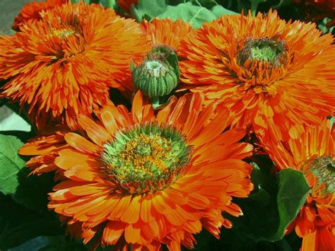 Orange Garden Flowers Desktop Wallpapers Flowers Orange Garden Flowers
