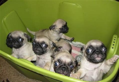 pug puppies for sale in new and lovely pug puppies for sale sweet and adorable pug vivapets