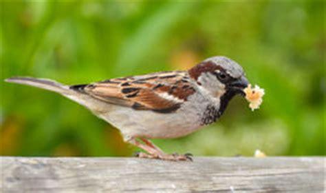 passero alimentazione passero e pane fotografia stock immagine 48935958
