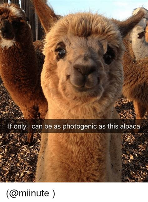 Alpaca Meme Generator - if only can be as photogenic as this alpaca funny meme on me me
