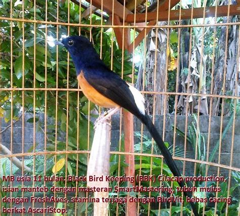 Trucker Bird Murai Batu quot mitos mitos quot di seputar murai batu klub burung