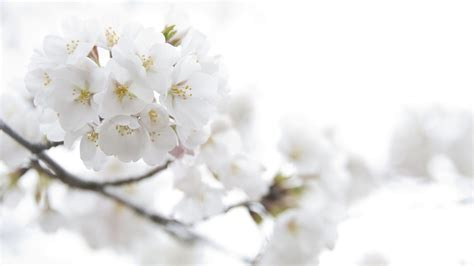 White Flowers by White Flowers Hd 34 Cool Wallpaper Hdflowerwallpaper